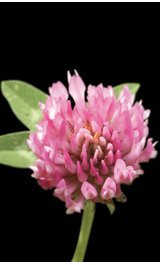 Trifolium-pratense-4