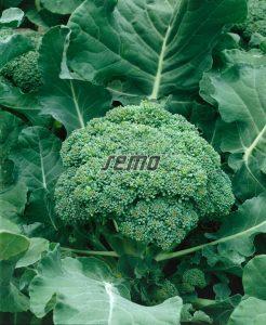 0203-semo-zelenina-brokolice-calabrese2