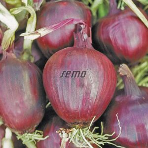 0555-semo-zelenina-cibule-kuchynska-lilia2