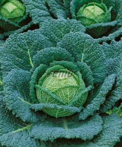 1441-semo-zelenina-kapusta-hlavkova-blistra2