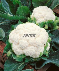 1863-semo-zelenina-kvetak-snow-lady2