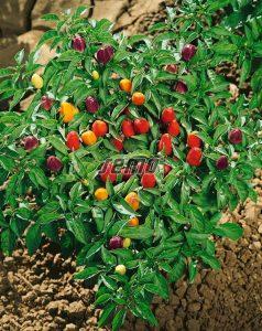 2553-semo-zelenina-paprika-rocni-pyramid2