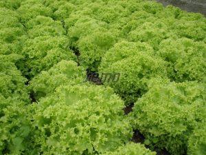3867-semo-zelenina-salat-listovy-zlatava-1
