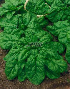 3903-semo-zelenina-spenat-sety-lorelay2