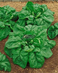 3914-semo-zelenina-spenat-sety-hudson2
