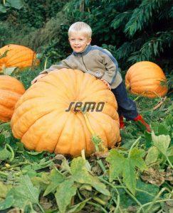 4006-semo-zelenina-tykev-velkoploda-atlantic-giant2