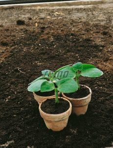 4031-semo-zelenina-tykev-k-roubovani-okurek-fikolista2
