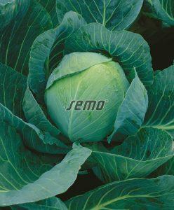 4211-semo-zelenina-zeli-hlavkove-zora2