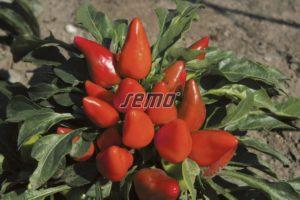 9147-semo-kvetiny-letnicky-papricky-okrasne-plaminek2-2