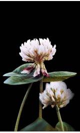 Trifolium-repens-1