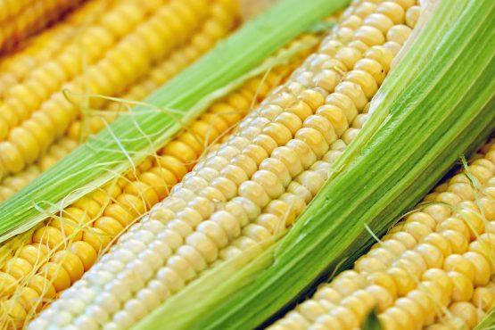 kukurica1