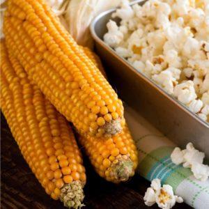 kukurice-pukancova-f1-nana-zea-mays-semena-15-ks