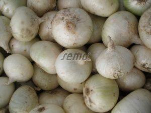 p0501-semo-zelenina-cibule-kuchynska-albienka4