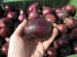 p0551-semo-zelenina-cibule-kuchynska-karmen