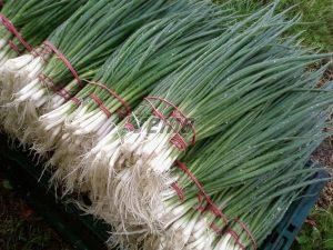 p0591-semo-zelenina-cibule-zimni-gerda