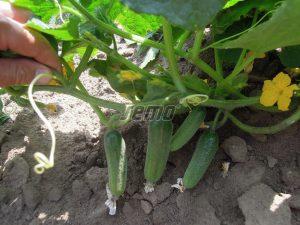 p2323-semo-zelenina-okurka-seta-nakladacka-charlotte-f12