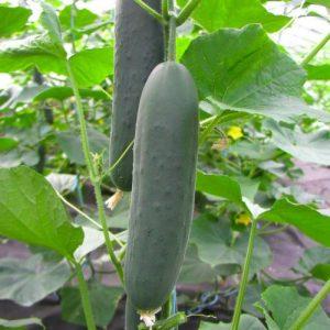 p2409-semo-zelenina-okurka-seta-salatova-marlen-f1-500x500-2