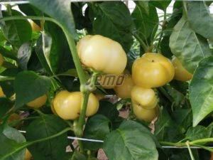 p2546-semo-zelenina-paprika-rocni-jablina-f1