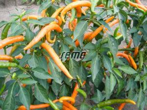 p2562-semo-zelenina-paprika-rocni-kilian