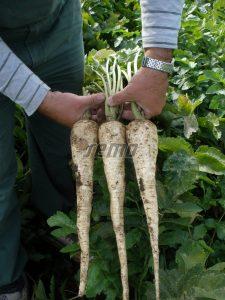 p2602-semo-zelenina-pastinak-sety-bielas