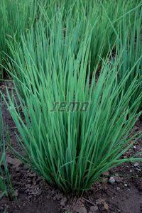 p2805-semo-zelenina-pazitka-prava-erecta1