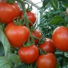 p3212-semo-zelenina-rajce-tyckove-parto-f11-135x135-3