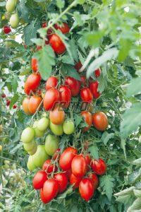 p3274-semo-vegetable-tomato-indeterminant-blumko-1-2