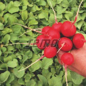 p3411-semo-zelenina-redkvicka-kvarta-500x500-1