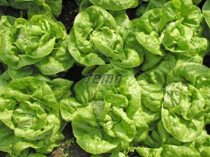 p3753-semo-zelenina-salat-hlavkovy-safir-1