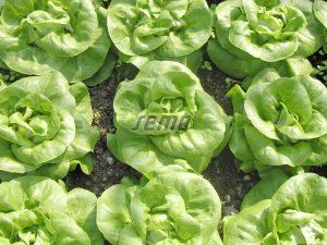 p3761-semo-zelenina-salat-hlavkovy-devin-1
