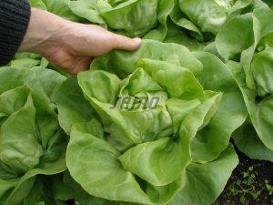 p3764-semo-zelenina-salat-hlavkovy-citrin