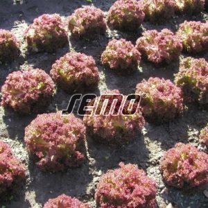 p3864-semo-zelenina-salat-listovy-karminova-500x500-2