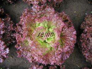 p3869-semo-zelenina-salat-listovy-roset