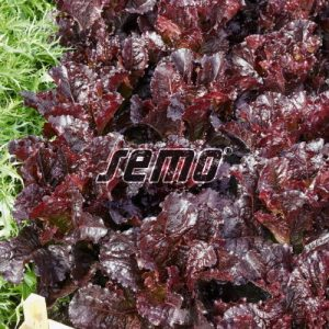 p3871-semo-zelenina-salat-listovy-dark-roden-500x500-1