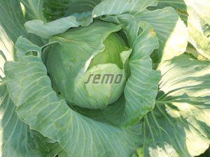 p4225-semo-vegetable-cabbage-polar1