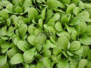 p5001-semo-vegetable-corn-salad-larged-leaved