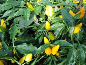 p9138-semo-zelenina-papricky-okrasne-plaminek-zluty-2