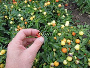 p9144-semo-zelenina-papricky-okrasne-emma-2