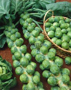 semo-zelenina-kapusta-ruzickova-groninger2