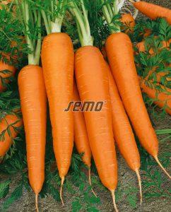 semo-zelenina-mrkva-obecna-koloseum2