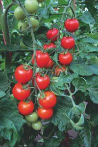 semo-zelenina-paradajky-bejbino-f1