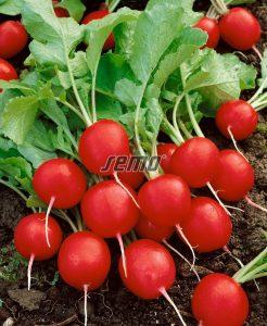 semo-zelenina-redkvicka-kvinta2