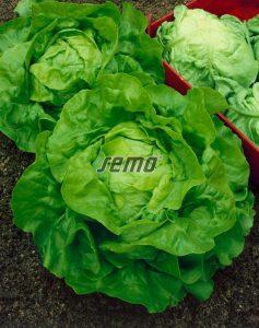 semo-zelenina-salat-hlavkovy-jupiter2