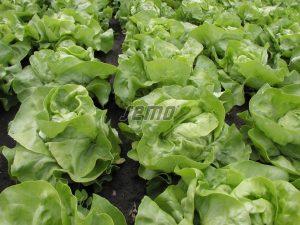 semo-zelenina-salat-hlavkovy-mars