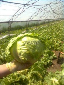 semo-zelenina-salat-hlavkovy-maximo1