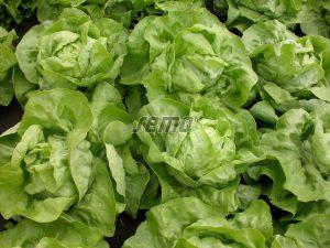 semo-zelenina-salat-hlavkovy-merkurion